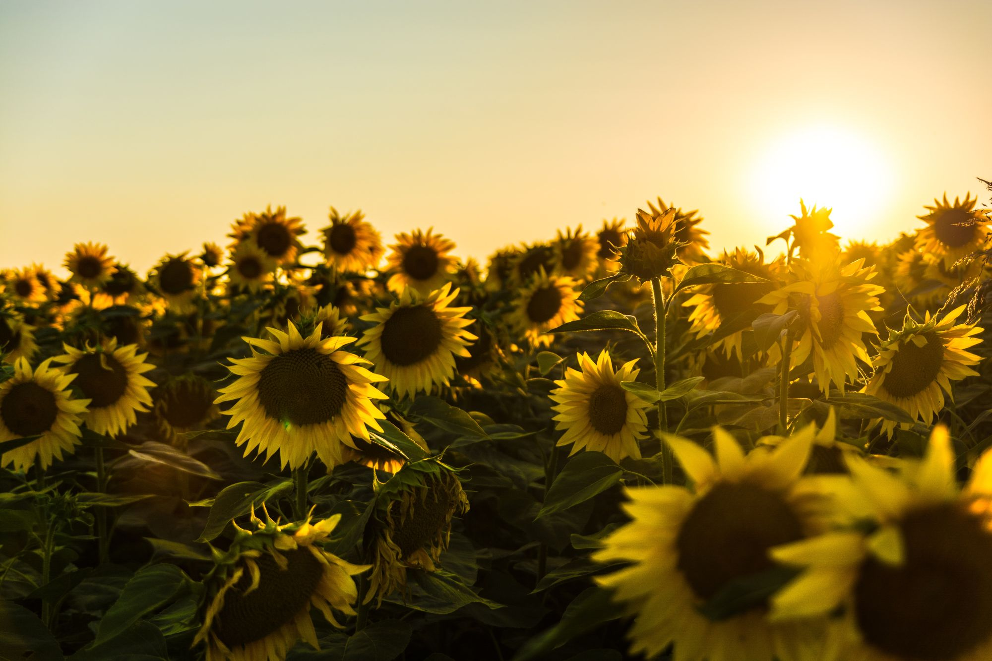 Sunflower oil shows unexpected efficiency in corrosion prevention