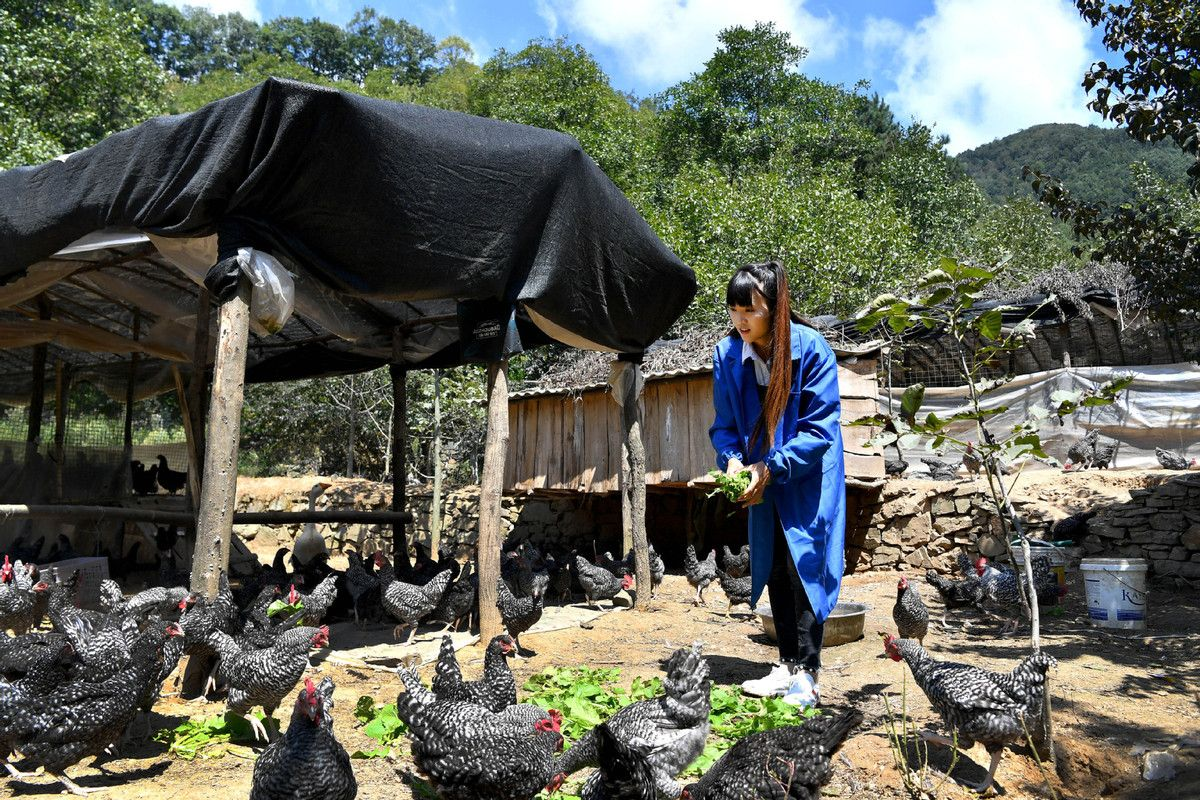 Online influencer launches chicken farming in Shaanxi