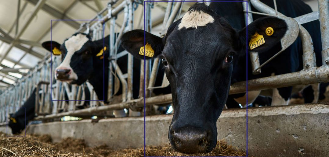 How comfortable are your cows? New AI tool for precision herd management
