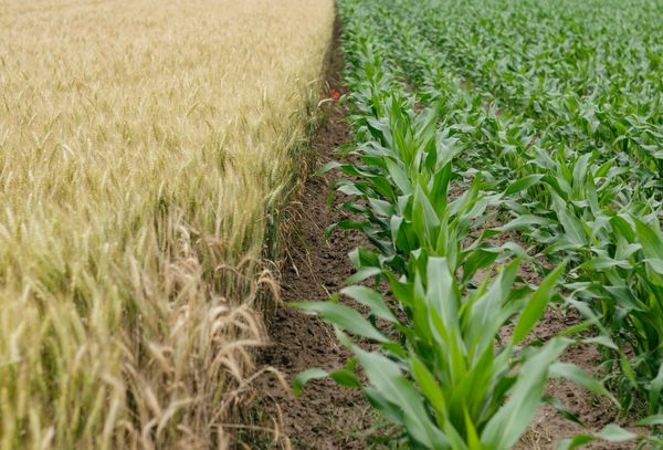 Choosing the right cover crop to protect the soil