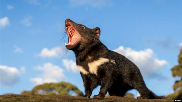 Tasmanian Devils Return to Australia Mainland after 3,000 Years
