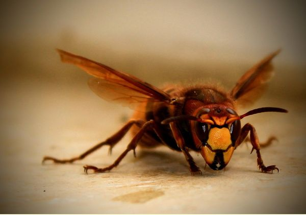 Murder hornets are about to start their 'slaughter phase'