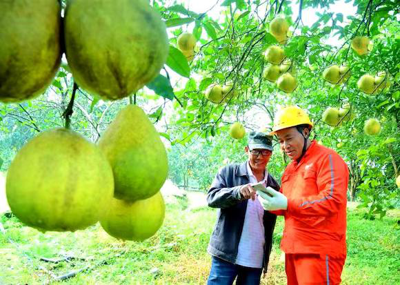 "A bumper harvest of the""Fully-charged"" grapefruits in Changshou District"
