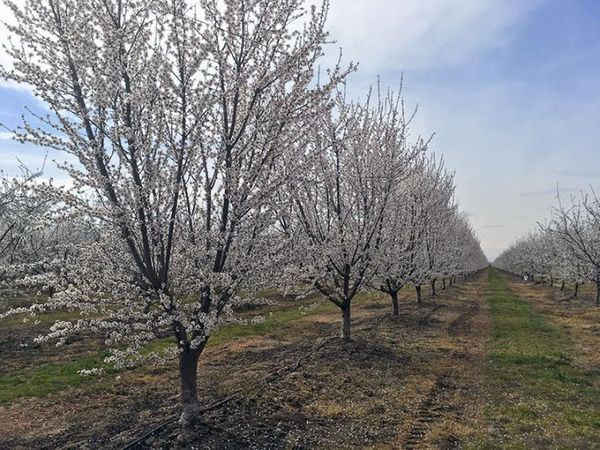 Keeping California a powerhouse of almond production